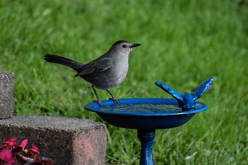 Bird, Gray Catbird, Drinking Water