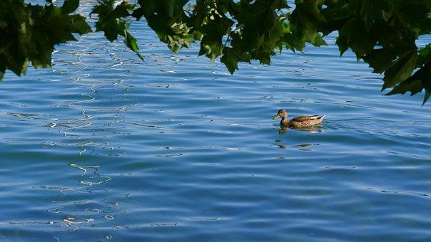 Lake, Duck, Water, Wave, Lake Constance, Bank, Summer