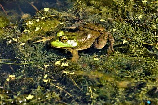 Frog, Bullfrog, Hunting, Prey, Shiny, Eyes, Bulging