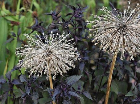 Ornamental Onion, Allium, Faded, Garden Plant, Close Up