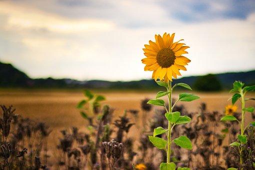 Sunflower, Summer, Yellow, Blossom, Bloom, Field, Sunny