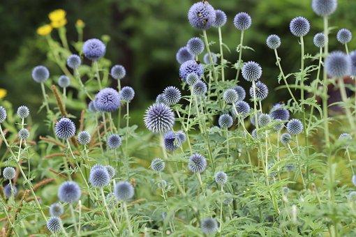 Globe Thistle, Thistles, Flowers, Globe Thistle Flowers
