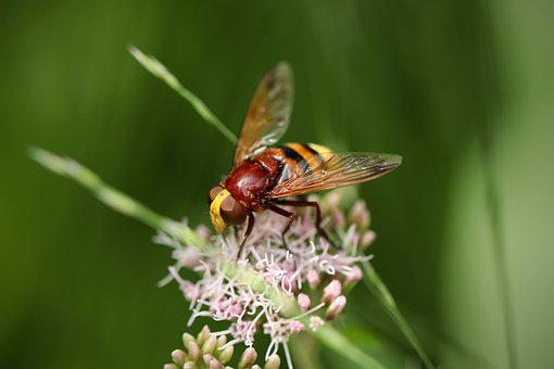 Insect, Hornet Hover Fly, Giant Bumblebee Hover Fly