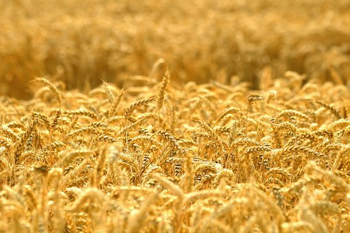 Grain, Ears Of Corn, Field, Agriculture, Gold