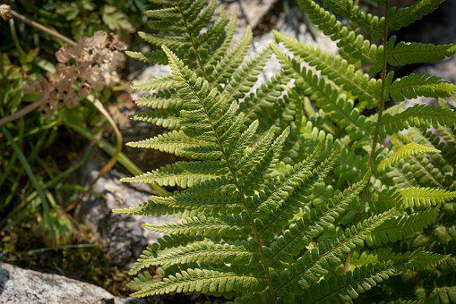 Fern, Green, Plant, Nature, Summer, Close Up