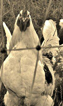 Hahn, Animal, The Proud Rooster, Black And White