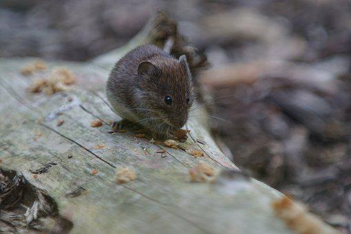 Garden, Forest Mouse, Bosmuis, Rodent, Cute, Hairy