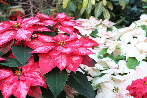 Poinsettia, Winter Plants, Holiday Plants, Greenhouse