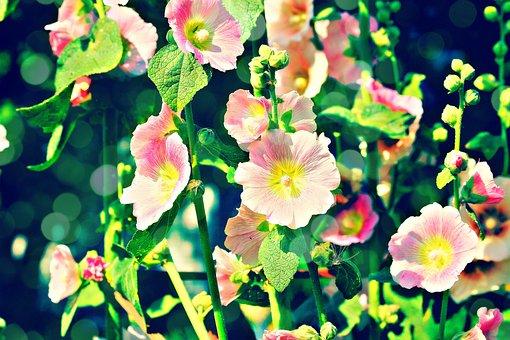 Hollyhocks, Lights, Nature, Bloom, Summer, Garden