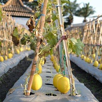 Honeydew, Nature, Garden, Harvest, Fresh, Natural