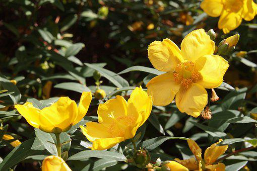 Hypericum, St John's Wort, Rose Of Sharon, Yellow