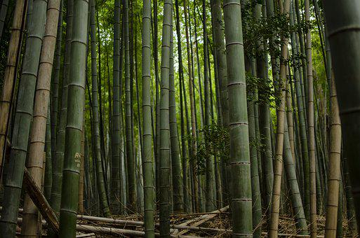 Bamboo, Forest, Green, Nature, Japan, Jungle, Plant