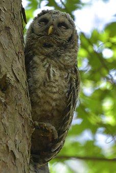 Juvenile Barred Owl, Taking A Nap