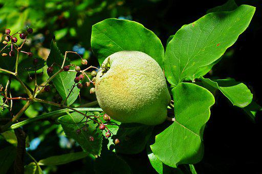 Quince, Fruit, Tree, Garden, Leaf, Nature, Vitamins