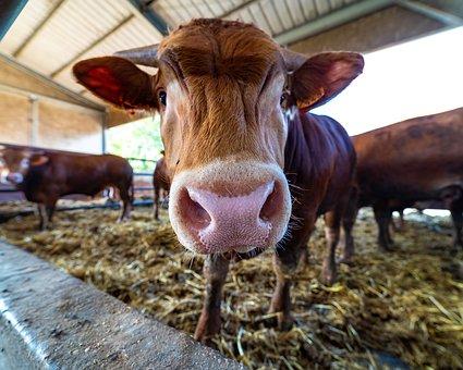 Limousine, Calf, Bovino, Livestock, Farm, Ruminant