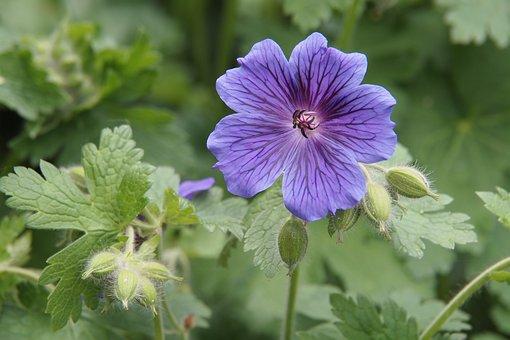 Geranium, Rozanne, Cranesbill, Perennial, Mauve, Flower