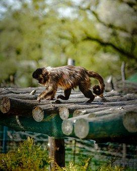 Monkey, Animal, Omnivore, Furry, Chimpanzee, Dominant