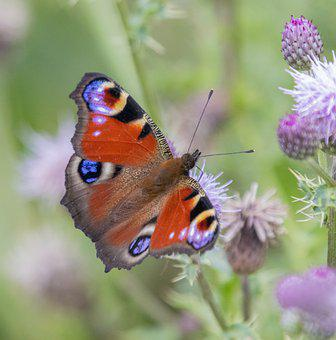 Peacock, Butterfly, Insect, Nature, Summer, Flower