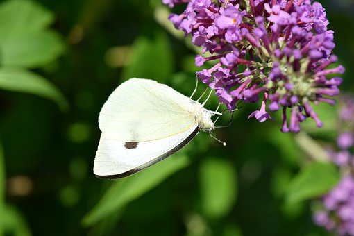 Butterfly, White, Insect, Nature, Wing, Flower, Summer