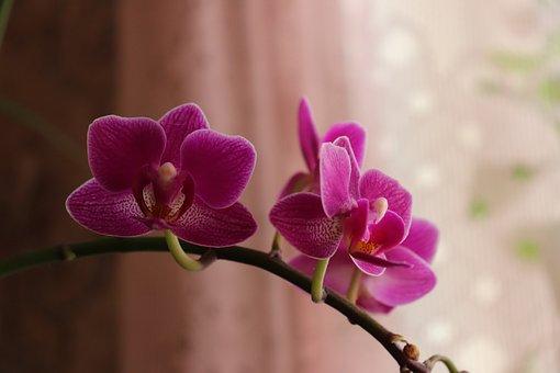 Phalaenopsis Amabilis, Moth Orchid, Orchid