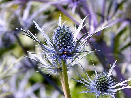 Purple, Ornamental, Sea Holly, Galloway Garden, Uk