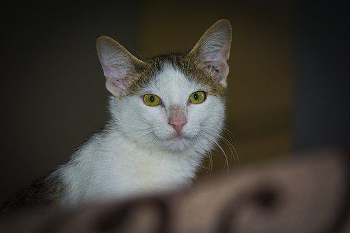 Cat, Pet, Kitten, Eyes, Fur, Friendship, Feline