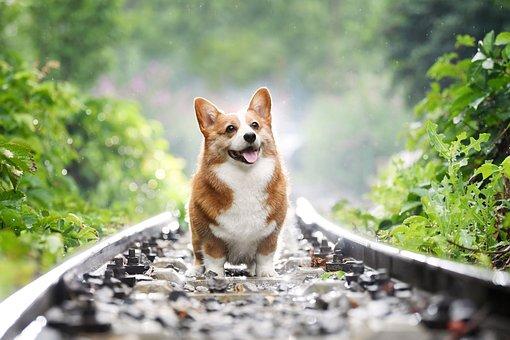 Pets, Dog, Corgi, Cute