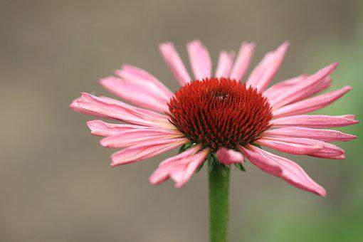 Flower, Pink, Sun Hat, Rudbeckia