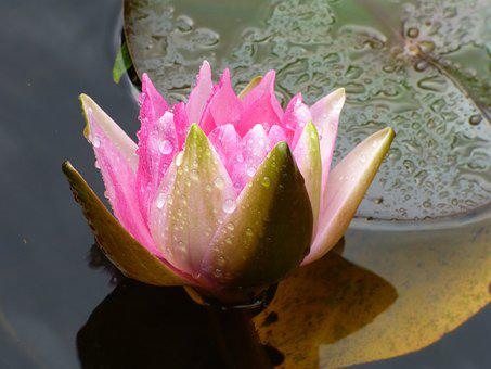 Water Lily, Raindrop, Pink, Pond, Nature, Flower