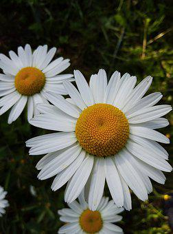 Nature, Plant, Flower, Field, Daisy, Summer, White
