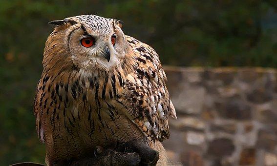 Owl, Eagle Owl, Head, Predator, Falconry, Plumage