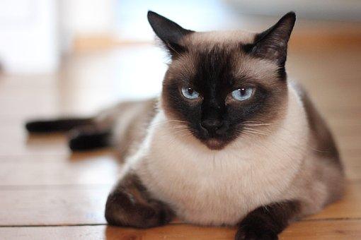 Cat, Domestic Cat, Pet, Portrait, View, Face, Close Up