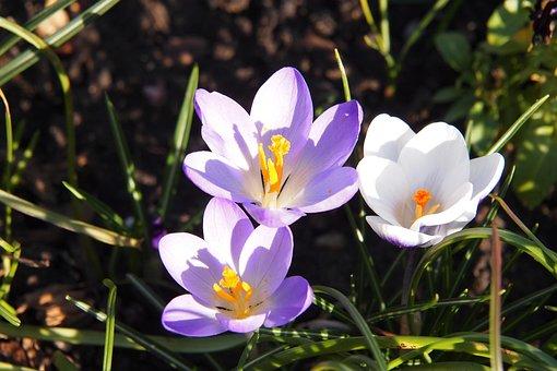 Crocus, Mauve, White, Flowers, Purple