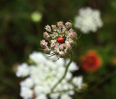 Ladybug, Wild Carrot, Queen Anne's Lace, Nature