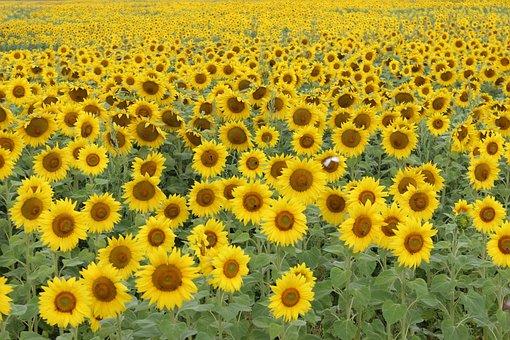 Sunflower Field, Summer, Sunflower, Flora, Nature