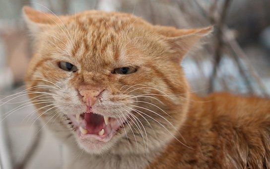Cat, Tomcat, Almost, Angry, Orange, Fur, Pet, Mammalian