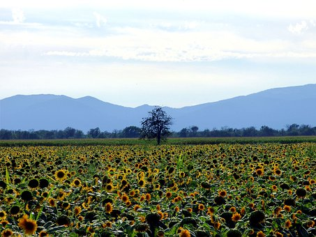 Field, Sunflower, Tree, Flower, Nature, Summer, Yellow