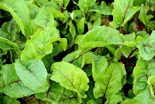 Beets, Foliage, Beet Leaves, Vegetables, Garden