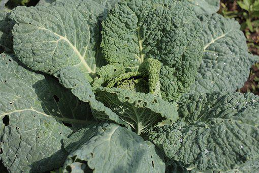 Cabbage, Summer, Garden, Vegan, Food, Fresh, Vegetables