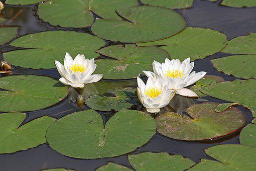 Water Lilies Water Lilies Water Plants, Nature, Lake