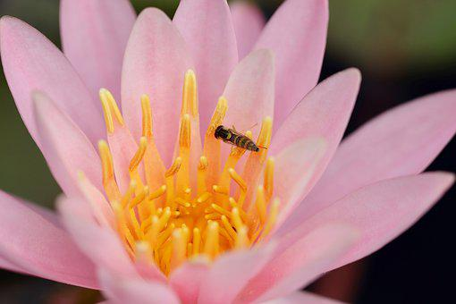 Water Lily, Seerosenblüte, Blossom, Bloom, Hoverfly