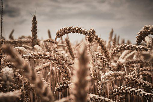 Wheat, Harvest, Ripe, Cereals, Field, Agriculture
