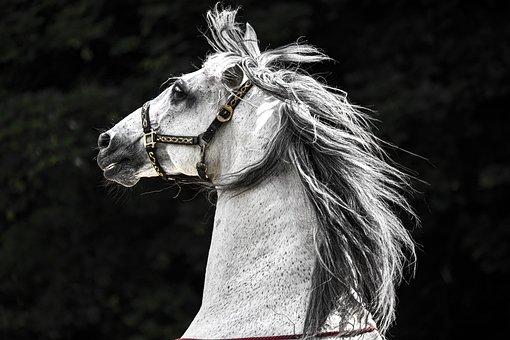 Horse, Head, Portrait, White, Animal, Equine, Snout