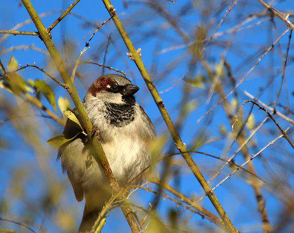 Bird, Sparrow, Perched, Tree, Winter, Garden, Wildlife