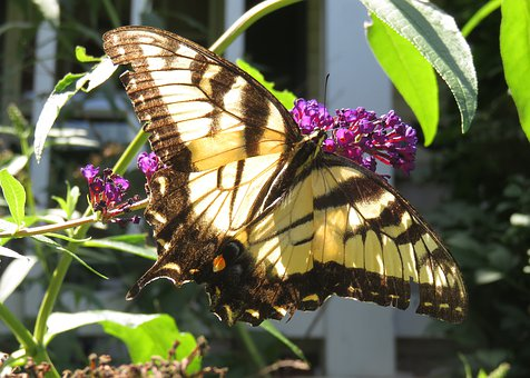 Yellow, Eastern Tiger Swallowtail, Butterfly, Wings