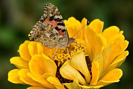 Butterfly, Zinnia, Nature, Garden, Macro, Yellow