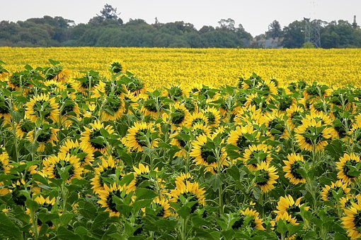Field, Sunflowers, Flowers, Agriculture, Landscape