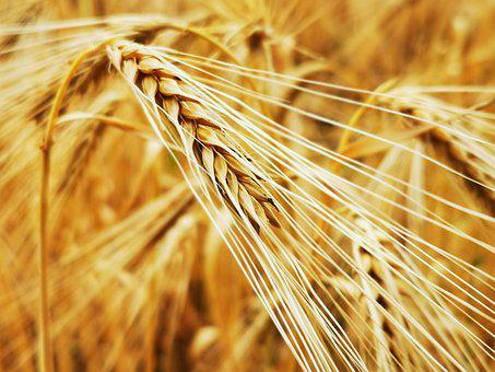 Rye, Field, Agriculture, Cereals, Harvest, Summer