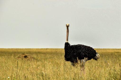 Ostrich, Africa, Animal, Bird, Big Bird, Feather