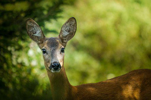 Roe, Wild Life, Wild, Animal, Mammal, Forest, Alps